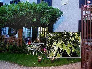 g te la source fleurs murier platane. Black Bedroom Furniture Sets. Home Design Ideas