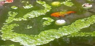 Les h tes des bassins poissons jardin de la source environnement jardin plantes flore - Bassin poisson rouge sans filtre roubaix ...