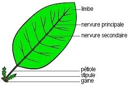 Reconnatre plantes bases botaniques flore plantes feuille une feuille simple possde un seul limbe continu altavistaventures Image collections